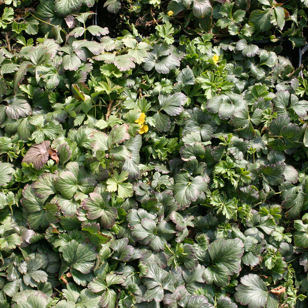 Waldsteinia ternata Dettaglio