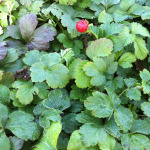 Waldsteinia ternata – Dettaglio