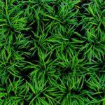 nordestprati-ophiopogon-japonicus-nana-dettaglio