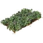 nordestprati-waldsteinia-ternata